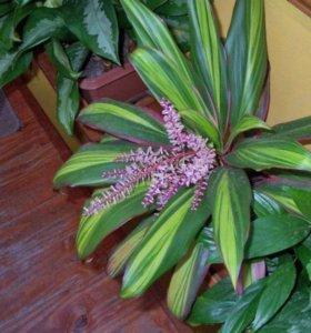 Пальма кордилина-цветущая пальма