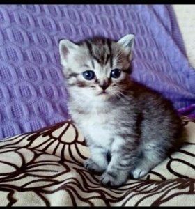 Продаются Шотландские котята.