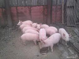 Свинки для размножения. Поросята