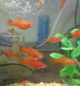 Меченосцы аквариумные рыбки