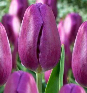 Тюльпаны мелким оптом