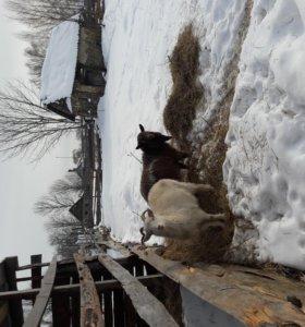 Продаю козу с козлом