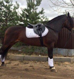 Лошадь в аренду (цена договорная )