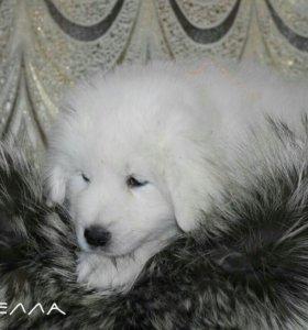 Маремма - абруцкая овчарка