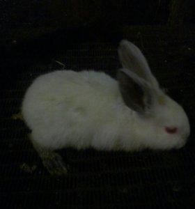 СРОЧНО ПРОДАМ Кролики калифорнийской породы