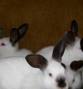 Кролики Калифорнийские