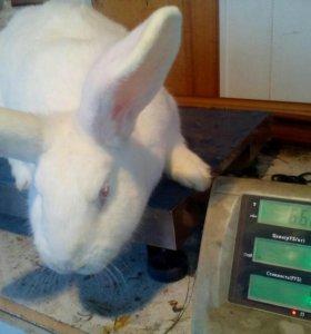 Кролики на продажу для разведения