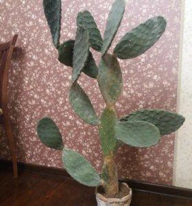 Растение кактус . Подарок на 23 февраля.