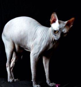 Кошечка Донского сфинкса