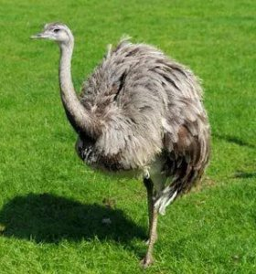 Птенцы страуса Эму