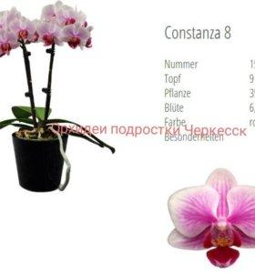 Подростки сортовых орхидей фаленопсис