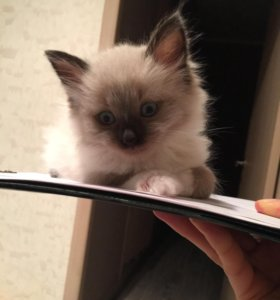 Котёнок на продажу
