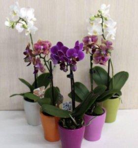 Орхидея + горшок ( разные расцветки )