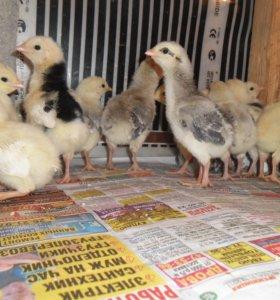 Цыплята,инкуб. яйцо породных птиц