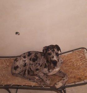 Собака дог