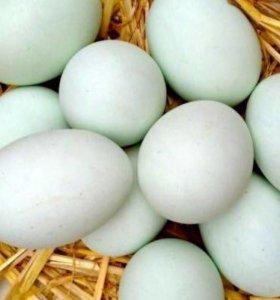 Яйцо инкубационное утиное