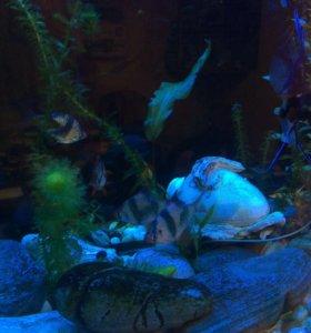 Рыба взрослая для большого аквариума Барбусы