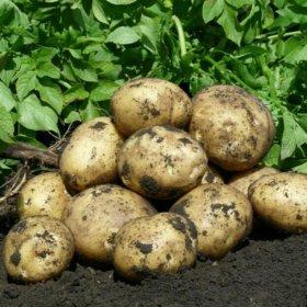 Продам картофель ,домашний!!!
