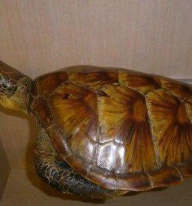 Чучело черепахи