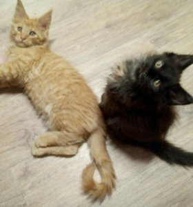 Куно-котики и кошечки.