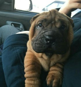 СРОЧНО!!!продам щенка шарпея.