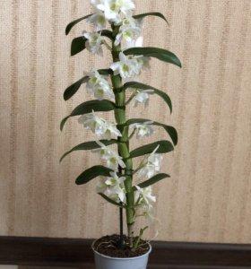 Орхидея Дендробирум
