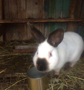 Белый колифорнийский кролик