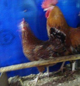 инкубационное яйцо 3х пород