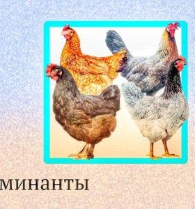 Инкубационное яйцо и цыплята на заказ.