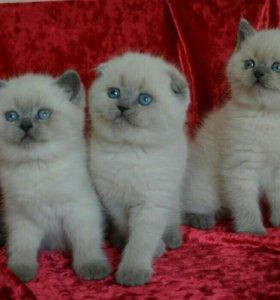 Вислоухие котята голубые глазки