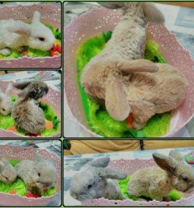 Карликовые кролики Рексобараны