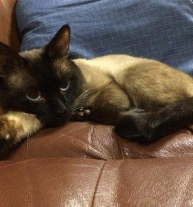 Вязка. Тайский кот ищет подружку