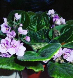 Фиалка, фиалки 🌺 цветы