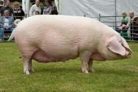 Продам племенного кабана и свиноматку