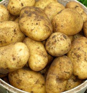картофель жёлтый Гала