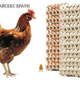 Инкубационное яйцо Хайсекс Браун