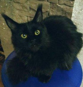 Продаются котята Мейн Кун(читайте объявление)