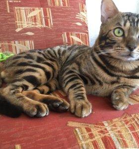 Бенгальский котик ждёт кошечку