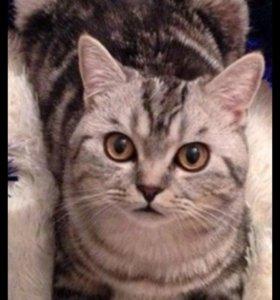 Кот Скоттиш-страйт, окрас мраморный табби