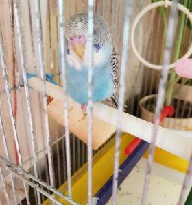 птенец волнистый попугай 1.5 месяца
