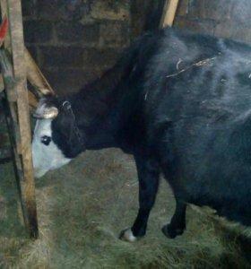 Корова молодая