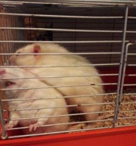 Крысы хаски(2мальчика)