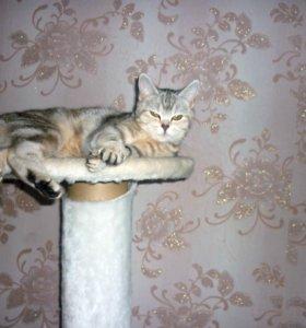 Кошечка ищет шотландского кота для вязки