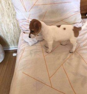 Собака Джек Рассел