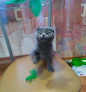 Шотландский котенок ) 1.5 месяца