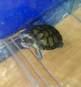 2 черепахи (красноухие) с аквариумом и фильтром