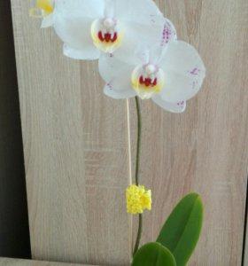 """Цветущая орхидея """"Антуанетта"""""""
