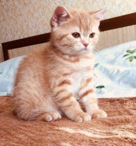 Красные и кремовые британские котята