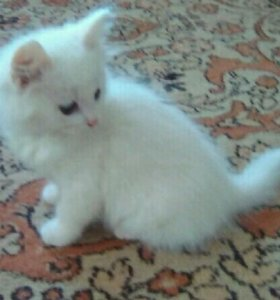 Котята (кошечки)
