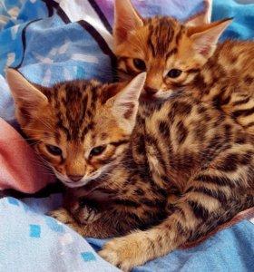 Прекрасные котята бенгалов